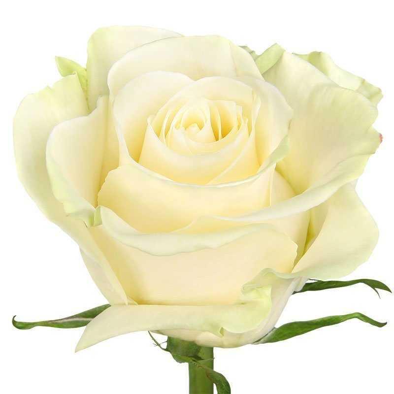 Роза премиальная Эквадор