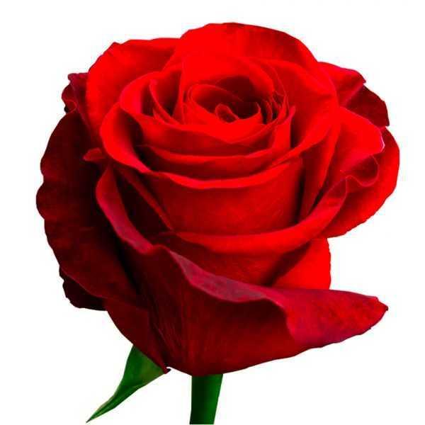 Роза красная премиальная Эквадор