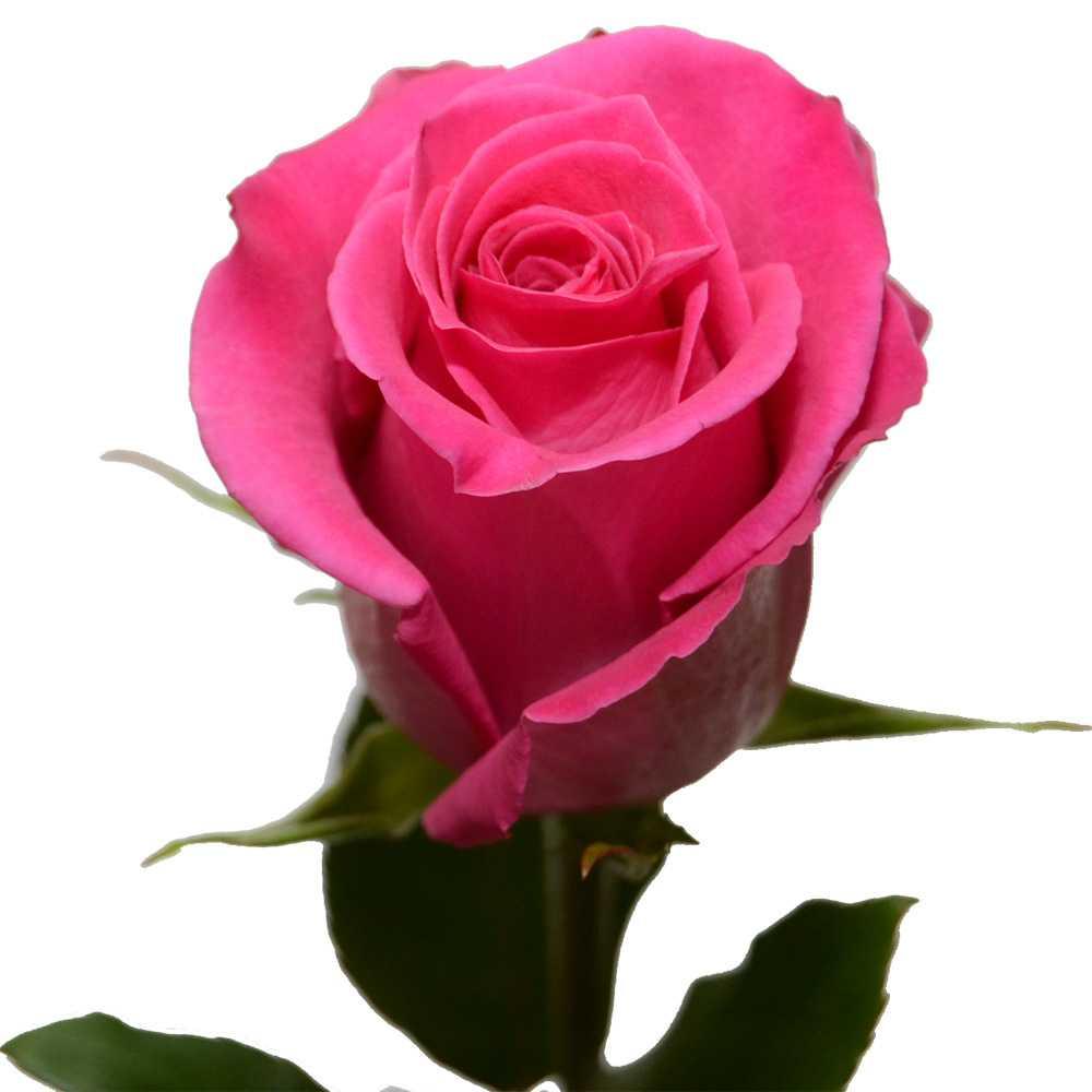 Розовая премиальная роза